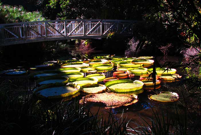 Victoria water lilies at the Kanapaha Botanical Gardens in Gainesville, Florida