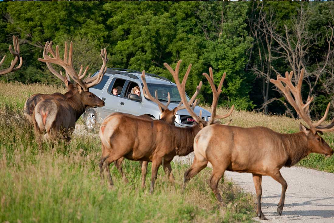 A family in a silver vehicle watches a herd of elk cross the gravel road at the Lee G. Simmons Conservation Park & Wildlife Safari near Omaha, Nebraska