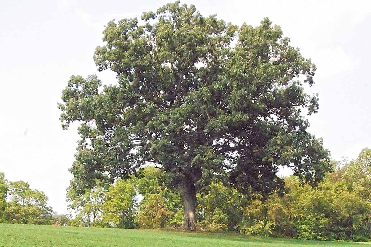 The Original Oak Tree in The Shawshank Redemption in Mansfield, OH