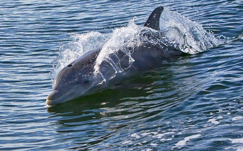 Dolphin in Pasco County, Florida