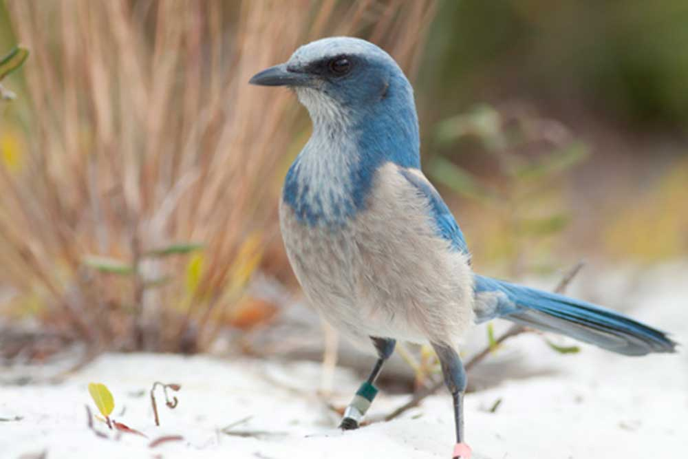 Blue and white bird in Sebring, Florida