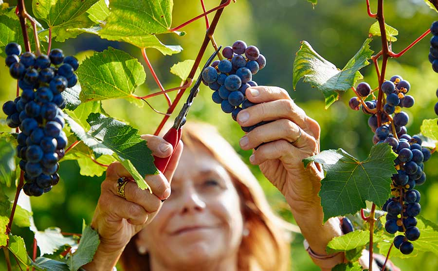 Christine Lawlor-White picking grapes at Blaum Bros. Distillery in Galena, Illinois